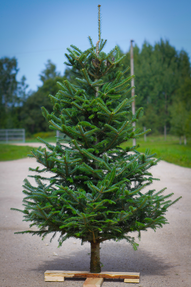 Estplant The Biggest Producer Of Christmas Trees In The