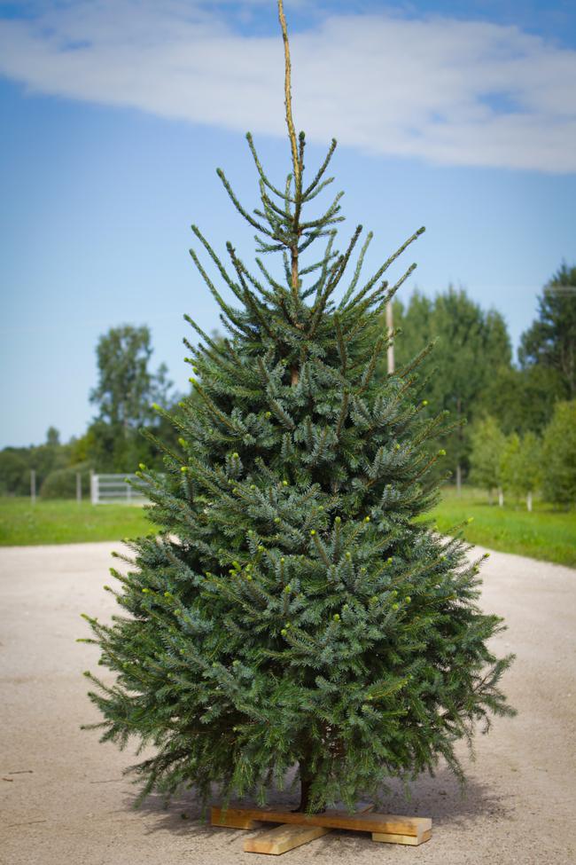 Christmas Tree Photo Gallery