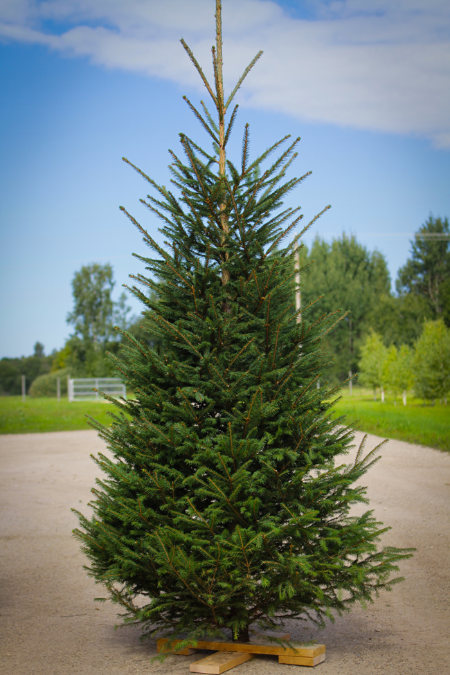 Christmas Tree Producer