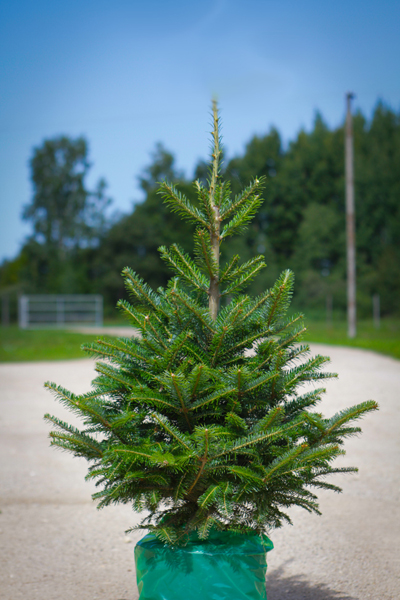 Estplant The Biggest Producer Of Christmas Trees In The Baltic